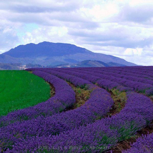 Lavender Tasmania