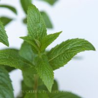 Pure Essential Oil - Spearmint