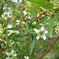 Pure Essential Oil - Tea Tree - Lemon