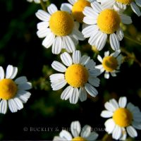 Pure Essential Oil - Chamomile - Moroccan