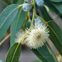 Pure Essential Oil - Eucalypt - Blue Mallee