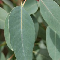 Pure Essential Oil - Eucalypt - Peppermint
