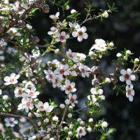 Pure Essential Oil - Tea Tree