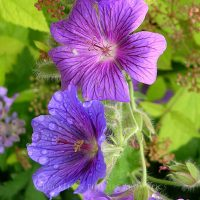 Pure Essential Oil - Geranium - African