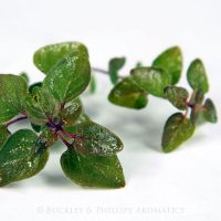 Pure Essential Oil - Marjoram - Sweet