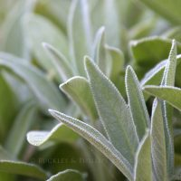 Pure Essential Oil - Sage - Spanish