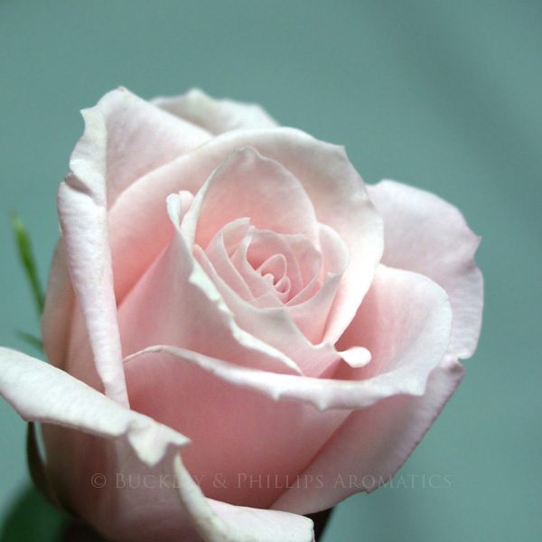 Pure Essential Oil - Rose 3%